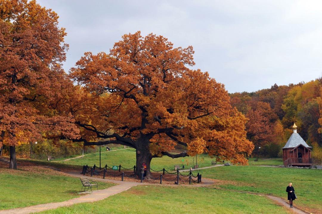 фото дубовых деревьев же