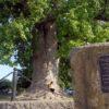 №3 – Тюльпанное дерево