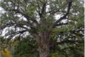 Наш номер 3. Старый дуб из Брянской области претендует на титул дерева года