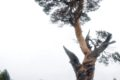 Сосна из Тверской области может быть признана самым необычным деревом страны