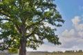 Брянский Партизанский дуб борется за звание «Дерево года в России 2020»