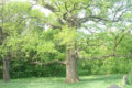 Белгородский дуб-долгожитель поборется за первенство в конкурсе «Российское дерево года-2020»