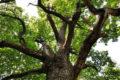 Дуб из Чувашии участвует в голосовании «Российское дерево года 2020»