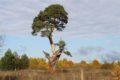 Жителям Тверской области предлагают выбрать дерево года
